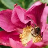 04-Bumblebee