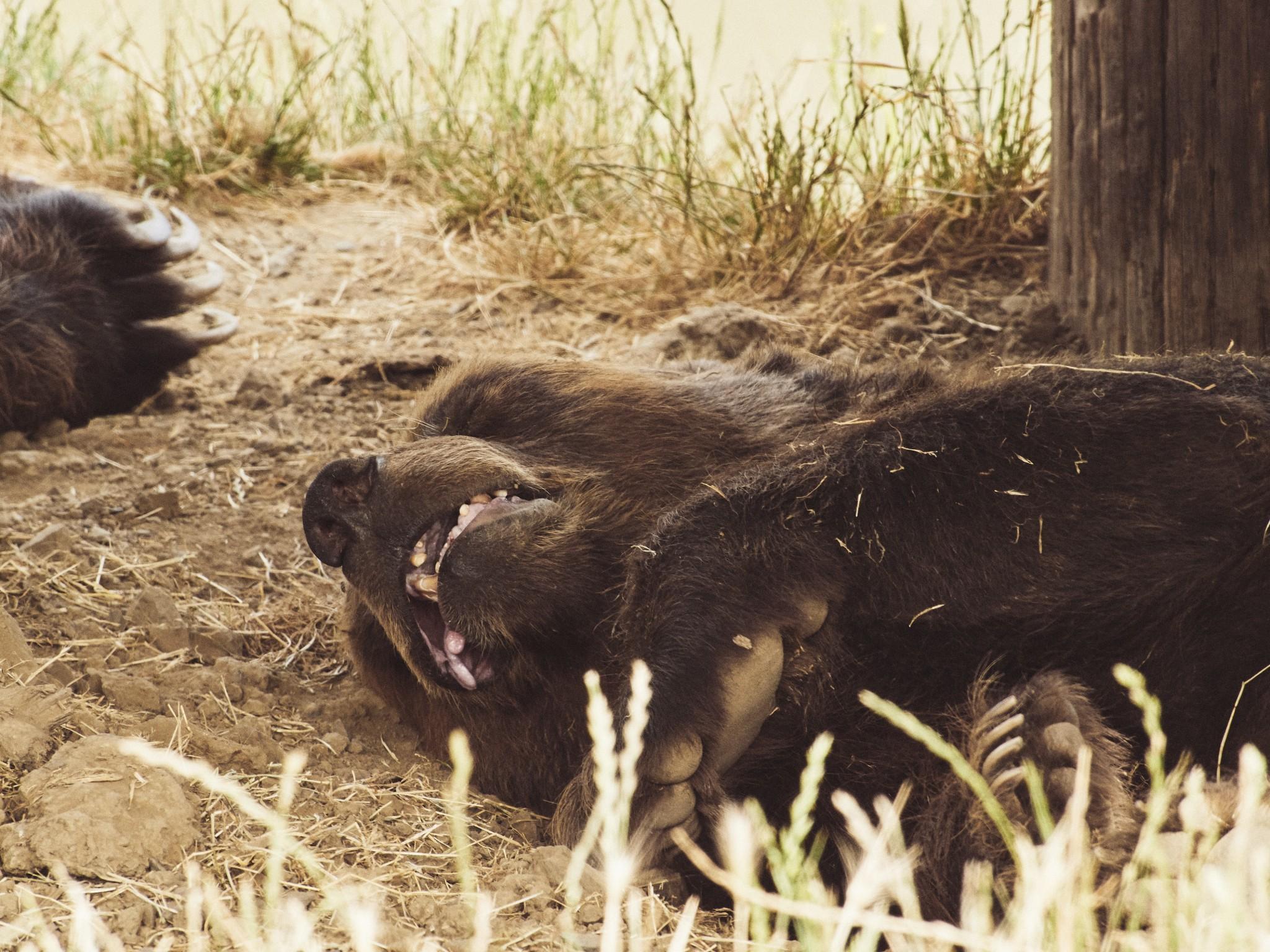 Black-Bear.jpg