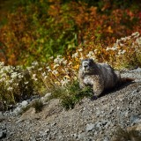 Mt-Rainier---Nice-Marmot-08