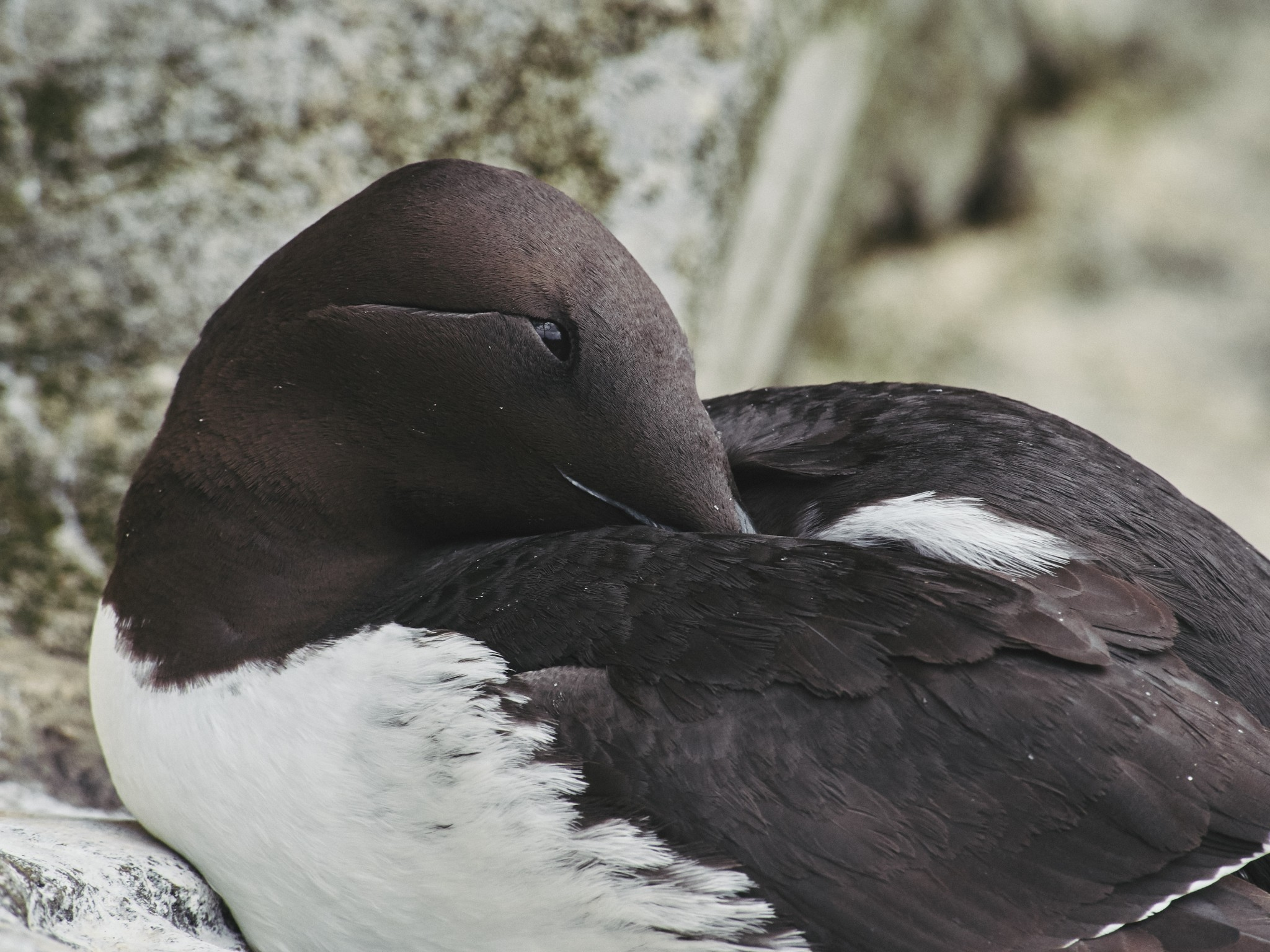 12-Common-Murre.jpg