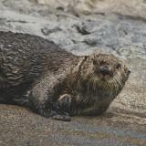 13-Sea-Otter