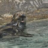 15-Sea-Otter