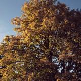 03---Oak