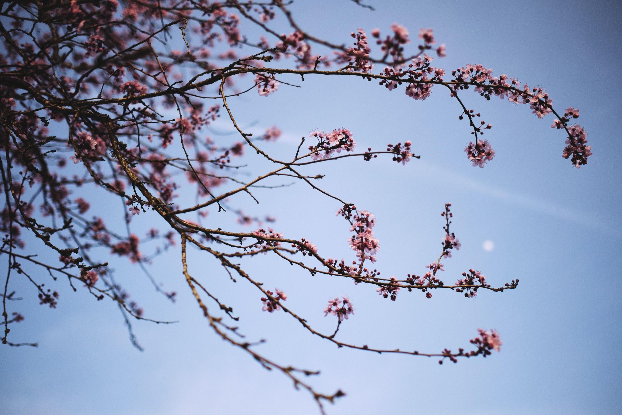 Sakura-Moon.jpg
