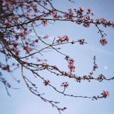 Sakura-Moon
