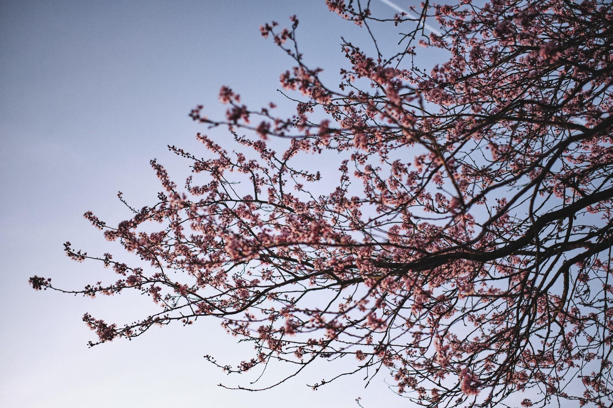 Sakura-Spring.jpg