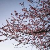 Sakura-Spring
