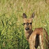 02-Deer