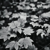 05-Maple