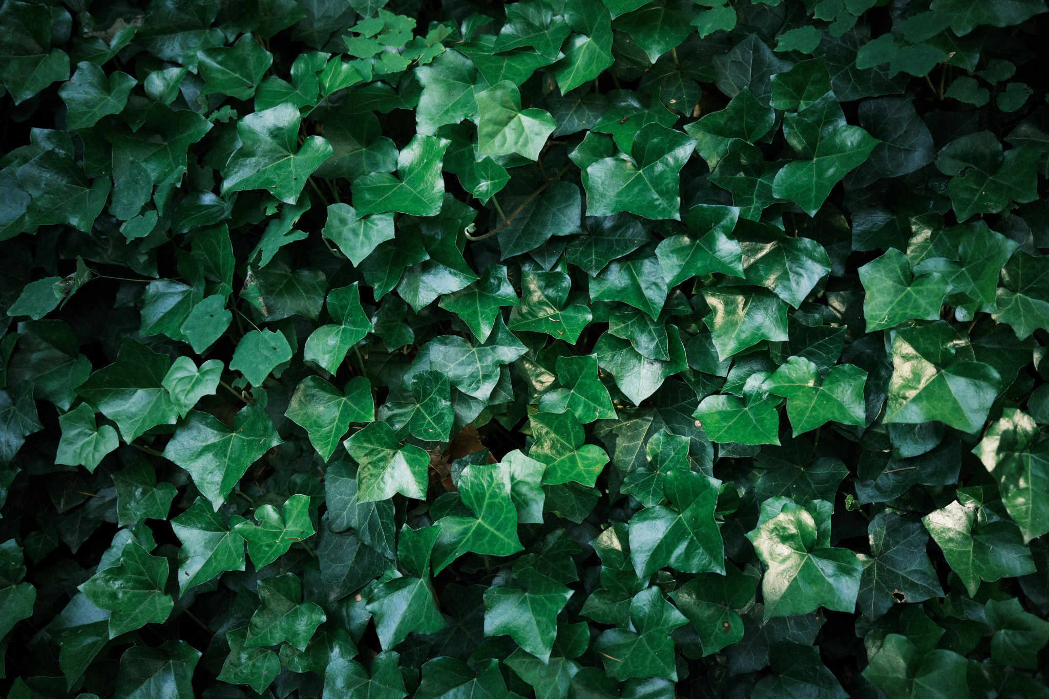 11-Ivy.jpg