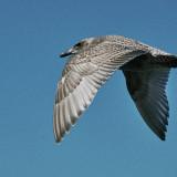 20-Seagull