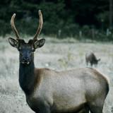 22-Elk