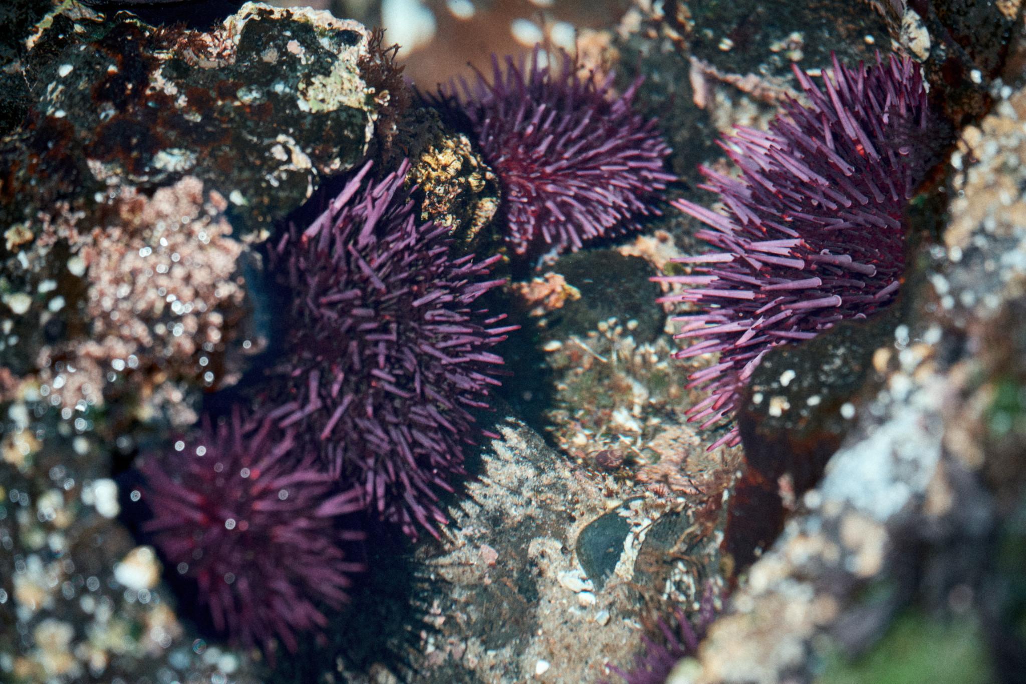 Strongylocentrotus-purpuratus.jpg