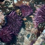 Strongylocentrotus-purpuratus